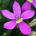 Isotoma Fizz n Pop Dark Pink