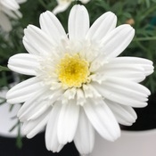 Marguerite Full Moon 2JPG