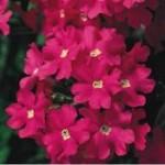 Verbena Lanai Hot Pink