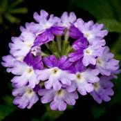 Verbena-Tiara-Mickey-Blue-Lavender