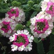 Verbena-Tiara-Mickey-Rose-White
