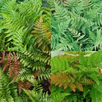 rsz_autumn_fern_a